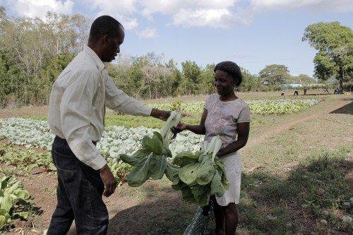 L'économiste Yves Mary Étienne, arrache du pak-choï du terrain test et le donne à une femme de la communauté pour qu'elle le vendre sur le marché local. Photo: Lynette Wilson/Episcopal News Service